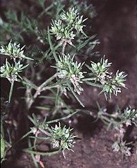 Scleranthus annuus eF