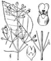 Scrophularia marilandica BB-1913.png