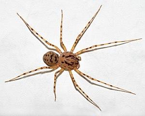 Scytodes thoracica - Image: Scytodes thoracica (aka)