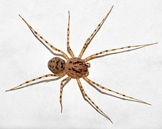 Spitting spider - Scytodes thoracica