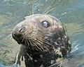 Seal, Bangor - geograph.org.uk - 919965.jpg