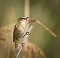 Sedge warbler (40185086350).jpg