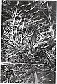 Sensitive plant species surveys, Butte District, Beaverhead and Madison Counties, Montana (1996) (19888323064).jpg