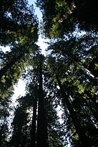 Sequoia sempervirens Hendy2.jpg