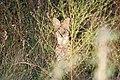 Serval on a Skukuza Sunset Drive (4107392742).jpg