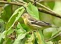 Setophaga fusca (Reinita americana) - Flickr - Alejandro Bayer.jpg