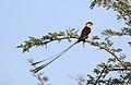 Shaft-tailed whydah, Vidua regia, at Pilanesberg National Park, Northwest Province, South Africa (28655784975).jpg