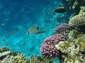 Sharm El Sheikh pink coral.jpg