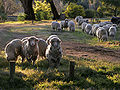 Sheep looking.jpg