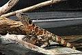 Shinisaurus crocodilurus - Tiergarten Schönbrunn.jpg