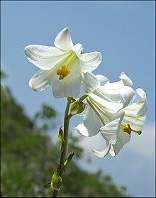Bloemen van Lilium candidum