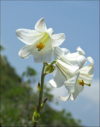 Lilioid monocots - Lilium candidum
