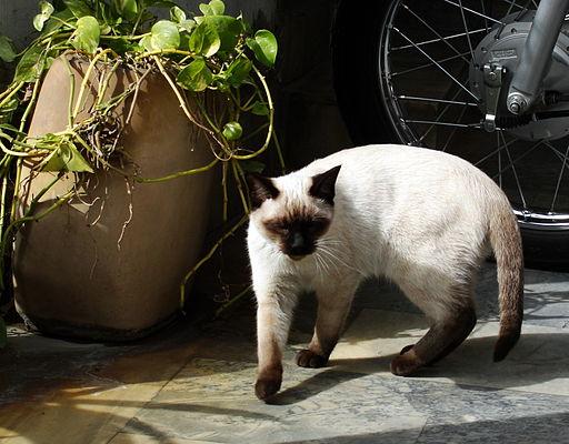 Siamese cat, traditional apple head