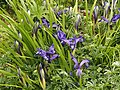 Siebenbürger Gras-Schwertlilie (Iris ruthenica).jpg