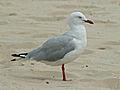 Silver Gull RWD2.jpg