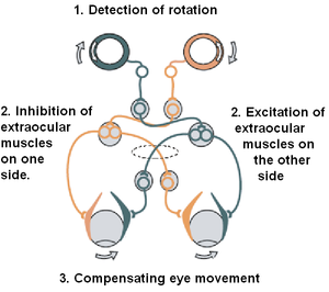 Vestibular system - The vestibulo-ocular reflex. A rotation of the head is detected, which triggers an inhibitory signal to the extraocular muscles on one side and an excitatory signal to the muscles on the other side. The result is a compensatory movement of the eyes.