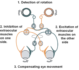 Vestibulo–ocular reflex - The vestibulo-ocular reflex. A rotation of the head is detected, which triggers an inhibitory signal to the extraocular muscles on one side and an excitatory signal to the muscles on the other side. The result is a compensatory movement of the eyes.