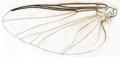 Simulium trifasciatum wing (British Entomology by John Curtis p765).png