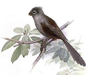 Grey-hooded parrotbill species of bird