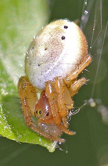 Sixspotted Orbweaver - Araniella displicata, Julie Metz Wetlands, Woodbridge, Virginia.jpg