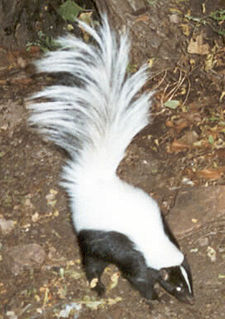 Hooded skunk species of mammal