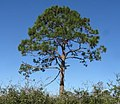 Slash Pine (2) (43998390921).jpg