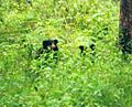 Sloth bear pair behind the bushes at Biligiriranga temple wildlife sanctuary.jpg