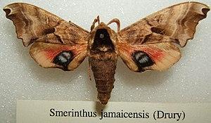 Smerinthus jamaicensis - Image: Smerinthus jamaicensis sjh