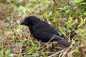 Smooth-billed ani (Crotophaga ani).jpg