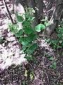 Smyrnium perfoliatum sl13.jpg