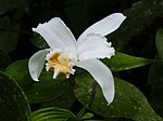 Sobralia chrysostoma (flower).jpg