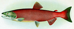 Sockeye breeding female.jpg