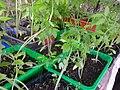 Solanales - Solanum lycopersicum - 8.jpg