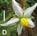 Solanum rubicaule male flower.jpg