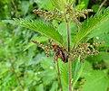 Soldier beetles (17782503443).jpg
