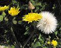 Sonchus oleraceus PID1767-3.jpg