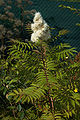 Sorbaria sorbifolia C.jpg