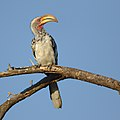 Southern Yellow-billed Hornbill, Tockus leucomelas, at Marakele National Park, Limpopo, South Africa (32852310738).jpg