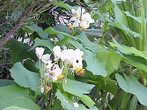 Kapländische Zimmerlinde (Sparrmannia africana)