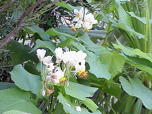 Species: Sparmannia africana Family: Tiliaceae...