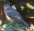 Sparrowhawk 2.jpg
