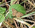Speckled Wood Butterfly - geograph.org.uk - 223130.jpg