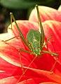 Speckled bush-cricket 2009-09-12.jpg