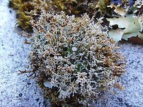 Sphaerophorus globosus.jpg