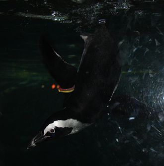 African penguin - African penguin diving