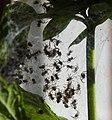Spiders in Sweden (20212798806).jpg