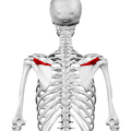 Spine of scapula01.png
