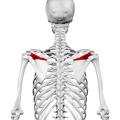 Spine of scapula01.png