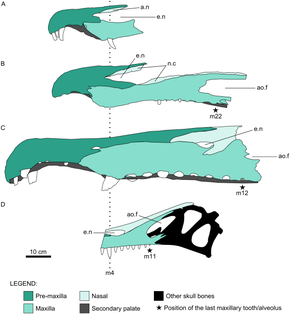 Diagram of four fossil skulls from different spinosaurids