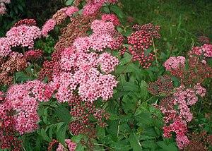 Spiraea japonica: Flower heads Svenska: Rosens...